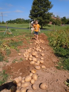 Harvesting potatoes - letting them dry in the sun.